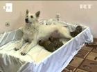 Una perra amamanta a tres crías de tigre rechazadas por su madre