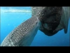 Whale shark sucks fish out of hole in fishing net exclusive part 2 clip